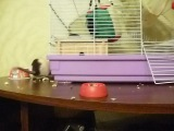 Прикол с крысой